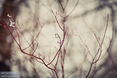 Red blossoms (dina bennett) Tags: trees winter red snow sticks montreal branches blossoms summit twigs winterbeauty redbranches dinabennett