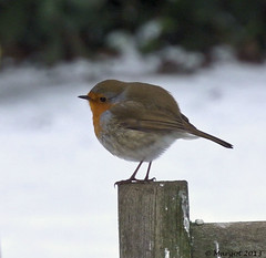 COLD (Margot) Tags: winter cold bird home robin garden seasons roodborstje margotpouw margot