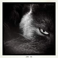 e v i l  e y e (Nick Kenrick.) Tags: eye cat korat hipstamatic lucifervilens blackeysbwfilm littledoglaughednoiret