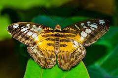 Clipper parthenos (Sylvia)-2 (cadiyo) Tags: rojo mariposas clipper parthenos sylvoa