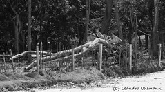 Tronco _  Trunk _ Leandro Uhlmann (Leandro Uhlmann) Tags: trees bw praia beach fence sand woods areia pb trunk cerca arvores tronco floresta mata felling devastao mourao derrubada forestdevastation