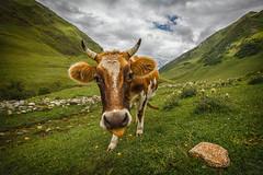 Cow in Ushguli (adametrnal) Tags: brown green face grass animal tongue georgia cow funny humorous stones humor moo glacier pasture georgian livestock graze caucus ushguli caucusmountains