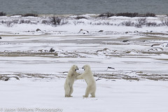 """Polar Bear in Churchill along the Hudson Bay. • <a style=""""font-size:0.8em;"""" href=""""http://www.flickr.com/photos/92120860@N06/8453683119/"""" target=""""_blank"""">View on Flickr</a>"""