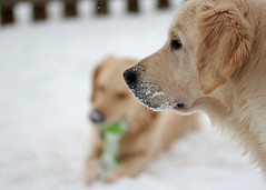 No weather for tracking... (A-C B) Tags: nova goldenretriever mira sigma105mmf28 lepetsmisssunshine lepetslovebreeze