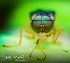 Lets dance! (Sameeran_Nath) Tags: india macro green eye nature canon 50mm fly compound f11 nath 600d sameeran 430eexii