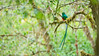 Resplendent Quetzal (Raymond J Barlow) Tags: green bird wildlife nature adventure costarica tours raymondbarlowtours art travel teaching quetzel resplendentquetzal