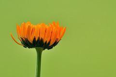 370 - Calendula Officinalis [Explored- Feb 16, 2013 #56] (ArvinderSP) Tags: flower green nature closeup nikon explore bud calendula calendulaofficinalis tamronaf70300mmf456dild againstgreen d3100 arvindersp