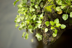 Ivy in the front line (Diego Almazn) Tags: sea nature cork ivy
