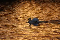 Swan Lake (Bruce Stokes) Tags: sunset animal coventry muteswan brandonmarsh
