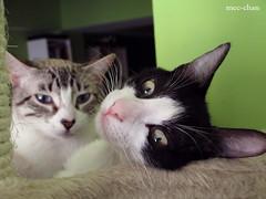 What? [explore!] (fliki-mec) Tags: white black cute cat felicia fun sleep siamese gato kawaii felino feli chufa
