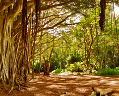 The Lost banyan (jai Mansson's photography.) Tags: usa film beach television 35mm hawaii hawaii movies production filmmaking banyan losttv losttvshow jaimansson
