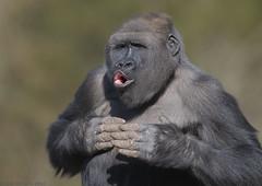 Letting off steam (gentle lemur) Tags: paigntonzoo westernlowlandgorilla gggorilla