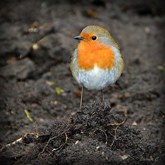 King of the Heap (Eleanor (No multiple invites please)) Tags: uk london robin soil hydepark nikond3200 blinkagain february2013