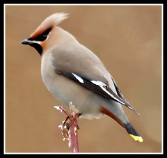 Waxwing (Buzzard2001) Tags: bird wildlife waxwing bombycillagarrulus