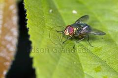 Mosca (Edson Grandisoli. Natureza e mais...) Tags: animal inseto olho floresta mosca serradojapi varejeira mataatlântica artrópode composto reservabiológica regiãosudeste