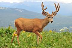 Mr. Mule Deer Comes for a Visit (NaturalLight) Tags: colorado velvet deer hut mule 10thmountaindivision peterestin