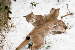 two lynxes (Cloudtail the Snow Leopard) Tags: wildpark pforzheim tier animal säugetier mammal luchs lynx nordluchs eurasischer cat katze winter schnee snow cloudtailthesnowleopard
