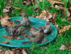 Sharing a bath (rosyrosie2009) Tags: uk autumn england nature birds nikon birdbath sparrows looe westcountry rosiesphotos tamronaf70300mmf456dildmacro tamron70300mmlens nikond5000 rosiespooner rosyrosie2009 rosemaryspooner rosiespoonerphotography