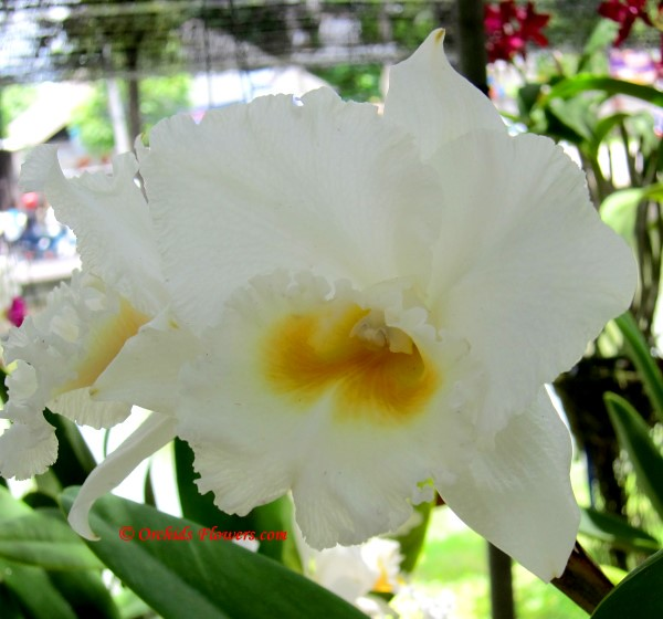 The World\'s Best Photos of cattleya and rlc - Flickr Hive Mind