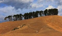 Pine Row (Tones Corner) Tags: clouds day cloudy dry marlborough pinetrees nzscene nzrural
