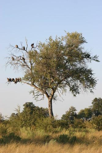 vultures botswana okavangodelta acaciatree