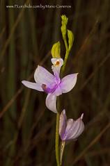 Calopogon tuberosus (Zero Eye) Tags: orchids calopogontuberosus floridaorchids simpsonsgrasspink terestialorchids selgrys