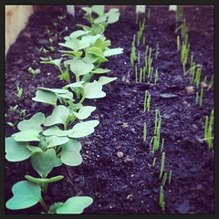 "Radish, leeks, onions and parsley. The first shoots of spring. A week more and into bed. #hungrycyclistlodge #hungrycyslistgarden #frenchgarden • <a style=""font-size:0.8em;"" href=""http://www.flickr.com/photos/30386142@N06/8589220329/"" target=""_blank"">View on Flickr</a>"