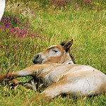 "Sleepy Foal at Bunowen <a style=""margin-left:10px; font-size:0.8em;"" href=""http://www.flickr.com/photos/89335711@N00/8595174749/"" target=""_blank"">@flickr</a>"