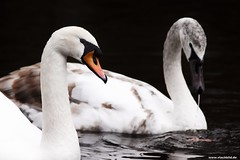 Two Swans (Vlachbild) Tags: bird animal germany swan europe trier rhinelandpalatinate workneeded borderfx nellspark minoltaaf20028apo sonyslta65