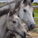 "Foal and Mare <a style=""margin-left:10px; font-size:0.8em;"" href=""http://www.flickr.com/photos/89335711@N00/8596624444/"" target=""_blank"">@flickr</a>"