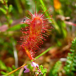 "Sundew at Derrigimlagh <a style=""margin-left:10px; font-size:0.8em;"" href=""http://www.flickr.com/photos/89335711@N00/8596662900/"" target=""_blank"">@flickr</a>"