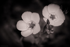 f1 (rich lewis) Tags: flower macro nature monochrome mono macrophotography richlewis