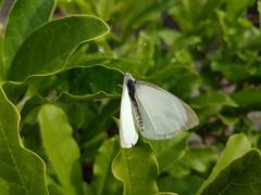 #KleinGeaderdWitje #PierisNapi #Pieridae #GreenveinedWhite #vlinder #butterfly #Tilburg #Netherlands #GALAXYS7Edge (henklbrNL) Tags: vlinder greenveinedwhite galaxys7edge kleingeaderdwitje butterfly tilburg netherlands pierisnapi pieridae