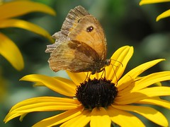 Me and my shadow ... :-) ( Bo ) Tags: gatekeeper butterfly hedgebrown nature garden backyard yard canong16 powershot macro bokeh focus colourful yellow brown fawn green colour black white rudbeckia flowerbed bed summer august 2016 summer2016 england britain uk europe european guest visitor one single solo song meandmyshadow franksinatra singer actor star