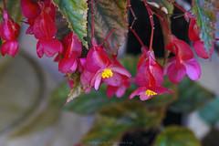 eye's paradise (@Katerina Log) Tags: flower plant colour pink florafauna outdoor depthoffield bokeh blossom katerinalog sonya77 tamron macro 90mmf28macrossm nature natura europe greece griechenland garden