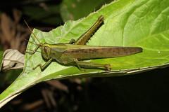 Orthoptera sp. (Grasshopper) - Costa Rica . (Nick Dean1) Tags: orthoptera grasshopper katydid insect insecta animalia arthropoda arthropod hexapoda hexapod lakearenal costarica guanacaste