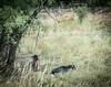 Guardian llama (CAJC: in the Rockies) Tags: goats sonyrx100m2 weedcontrol boulderco colorado integratedpestmanagement lightroom lightroompresets vignette summer summerincolorado bouldercountyco llama llamaasguardanimal