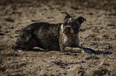 BATH???? (Katrina Wright) Tags: dog doggybeach sand beach canine play sandy dsc2982 terrier bostonterrier