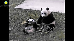 2016_09-05a (gkoo19681) Tags: beibei meixiang cornstalk sharingiscaring togetherness soyummy stealing ccncby nationalzoo