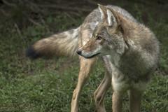 Coyote (captif) (passion photos animalires) Tags: coyote canid canislatrans faune bioparc bonaventure gaspsie baiedeschaleurs qubec canada 2016 captif mammifres mammals