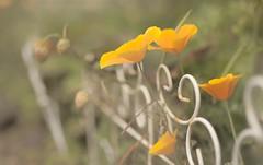 Shades of Yellow Friday (jm atkinson) Tags: poppies maine damariscotta main elaines yellow flowers white fence bokeh pastel