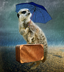 Tourist in London (jaci XIII) Tags: chuva turista viajante sombrinha mala suricato animal rain tourist travel umbrella bag meerkat