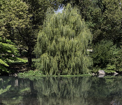 Big Willow (Joe Josephs: 2,861,655 views - thank you) Tags: centralpark joejosephs nyc newyorkcity copyrightjoejosephs landscapephotography outdoorphotography ny usa landscapes urbanparks parks cityparks naturephotography urbannature travelphotography travel nature naturallight