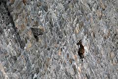 Diffidare delle imitazioni 2/2 (Fabio Bianchi 83) Tags: cingino cinginodam digadelcingino ibex alpineibex stambecchi stambecco acrobati acrobats acrobatics animali animals muro wall vertical verticale antrona antronavalley valleantrona parconaturalealtavalleantrona altavalleantronanaturepark ossola ossolavalley wwwossolatrekcom ossolatrek montagna mountain alps alpi alpes alpen hiking escursionismo