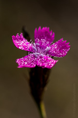 tiny (Florian Grundstein) Tags: flower blossom macro droplets details natural nature nikon d610 sigma dg fx fullframe 105mm os upperpalatinate teublitz