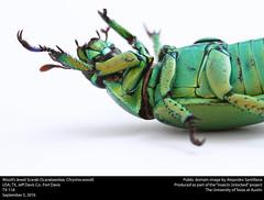Wood's Jewel Scarab (Scarabaeidae, Chrysina woodi) (insectsunlocked) Tags: coleoptera scarabaeidae chrysina chrysinawoodi cwoodi woodsjewelscarab