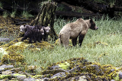 Female Grizzly Bear with three cubs (Alan Vernon.) Tags: brown bear coastal ursus arctos horribilis mature female sow mother young immature first year cub cubs grass sedge sedges eat eating nature wildlife wild mammal american bears omnivore predator shore