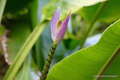 Have you ever seen a Banana Flower? (ssspnnn) Tags: banana flor musaceae musaceaeparadisiaca platano guineo cambur banano spnunes spereiranunes nunes canoneos70d spereira elsalvador cafédelvolcan