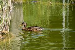 swimming duck (FleshTriad) Tags: swimming schwimmen duck ente vogel teich wasser