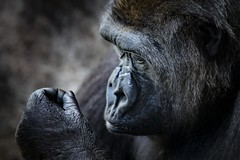 Ponder (Notkalvin) Tags: ape gorilla primate thinking captive thought ponder zoo caged notkalvin mikekline notkalvinphotography indoor animal forouramusement wantstobefree